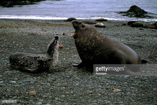 Leopard seal, Hydrurga leptonyx, and Southern elephant seal, Mirounga leonina, fighting, Macquarie island, Australian Sub Antarctic possession.