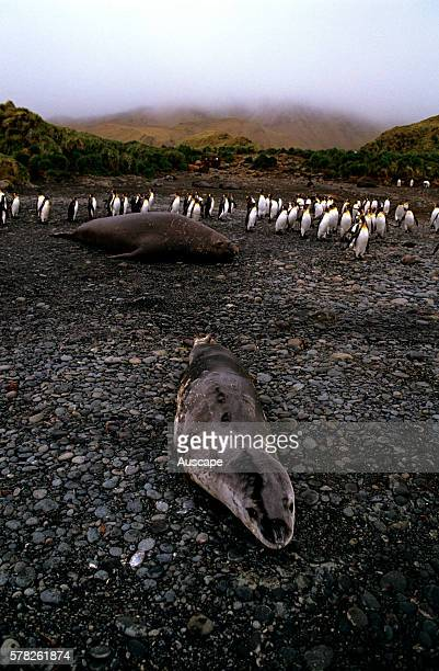 Leopard seal, Hydrurga leptonyx, with Southern elephant seal, Mirounga leonina, and penguins in background, Macquarie Island, Sub Antarctic,...