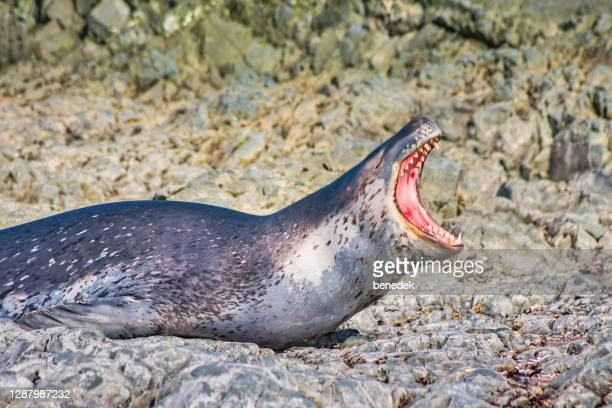 leopard seal in antarctica - leopard seal stock pictures, royalty-free photos & images