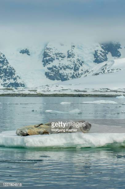 Leopard seal is nursing its baby on an ice floe floating of Pleneau Island, Antarctic Peninsula.