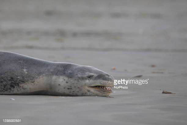 Leopard seal lays on Sumner beach in Christchurch, New Zealand on September 02, 2021. Leopard seals are usually found on Antarctic pack ice but young...