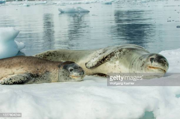 Leopard seal mother and baby on an ice floe floating of Pleneau Island, Antarctic Peninsula.