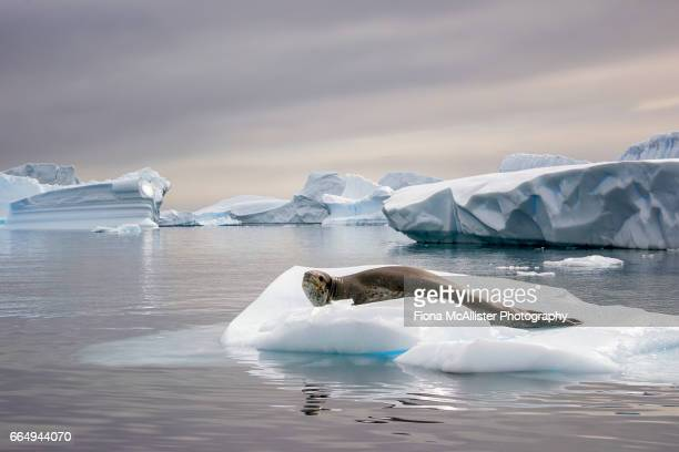 leopard seal on antarctic icebergs - leopard seal stock pictures, royalty-free photos & images