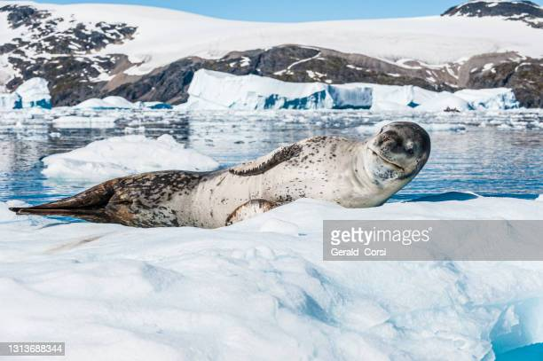leopard seal on ice, cierva cove, antarctica, hydrurga leptonyx, belongs to the family phocidae. leopard seals are the second largest species of seal in the antarctic, and are near the top of the antarctic food chain.  pinnipedia, phocidae. - leopard seal stock pictures, royalty-free photos & images