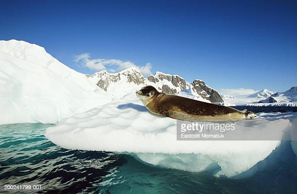 Leopard seal (Hydrurga leptonyx) on ice floe, side view