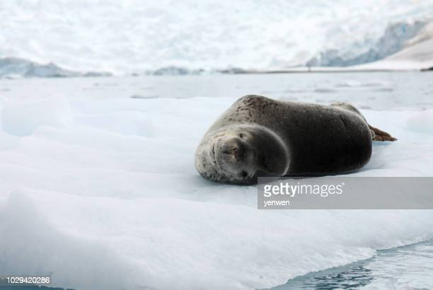 leopard seal on ice - leopard seal stock pictures, royalty-free photos & images