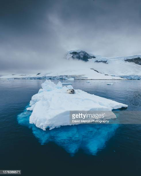 leopard seal on iceberg - leopard seal stock pictures, royalty-free photos & images