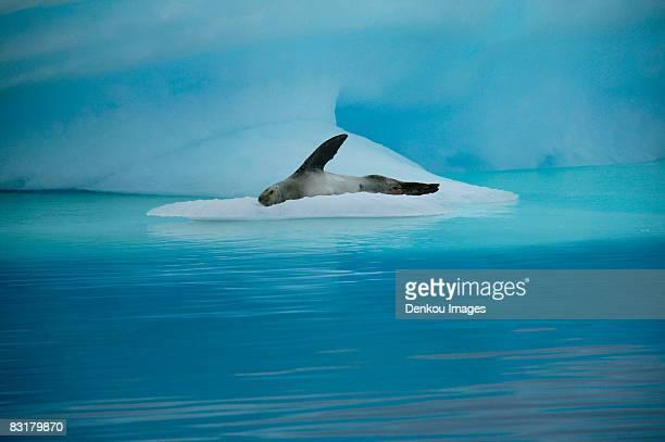 Leopard seal, Paradise Island, Antarctica