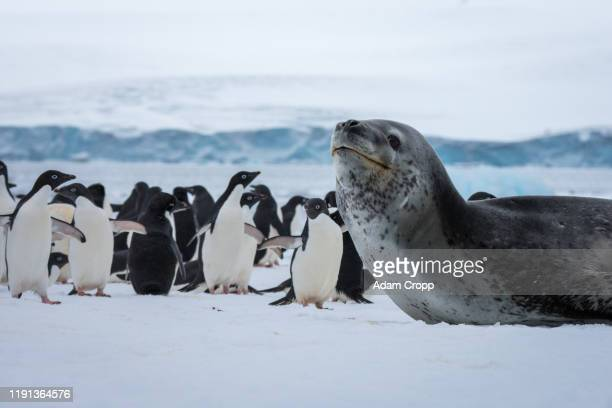 leopard seal - leopard seal stock pictures, royalty-free photos & images
