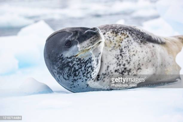leopard seal (hydrurga leptonyx) - pack ice stock pictures, royalty-free photos & images