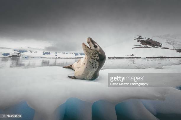 leopard seal resting on an iceberg. - leopard seal stock pictures, royalty-free photos & images