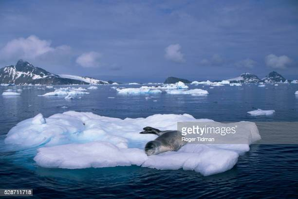 Leopard Seal Resting on Iceberg
