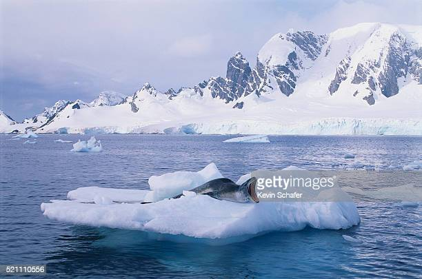 leopard seal roaring on ice floe - pack ice stock pictures, royalty-free photos & images