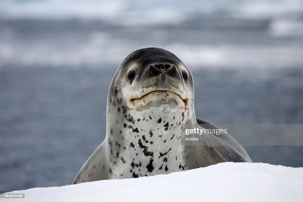 Leopard seal / sea leopard (Hydrurga leptonyx) in Paradise Bay, Antarctica : News Photo