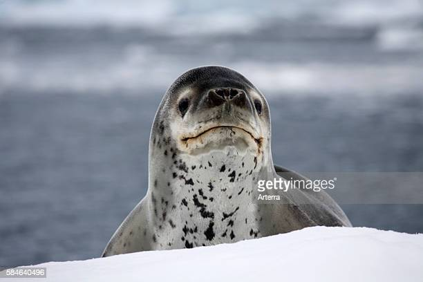 Leopard seal / sea leopard in Paradise Bay, Antarctica.