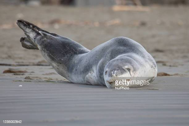 Leopard seal stretches while resting on Sumner beach in Christchurch, New Zealand on September 02, 2021. Leopard seals are usually found on Antarctic...