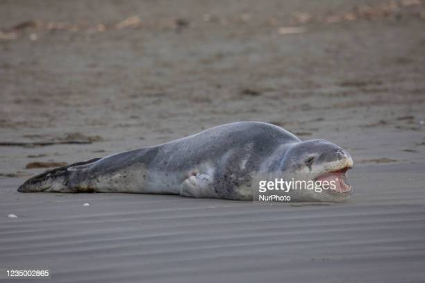 Leopard seal yawns while resting on Sumner beach in Christchurch, New Zealand on September 02, 2021. Leopard seals are usually found on Antarctic...