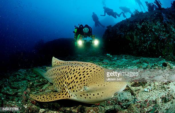 Leopard shark and scuba diver Stegostaoma varium Thailand Indian Ocean Phuket Similan Islands Andaman Sea