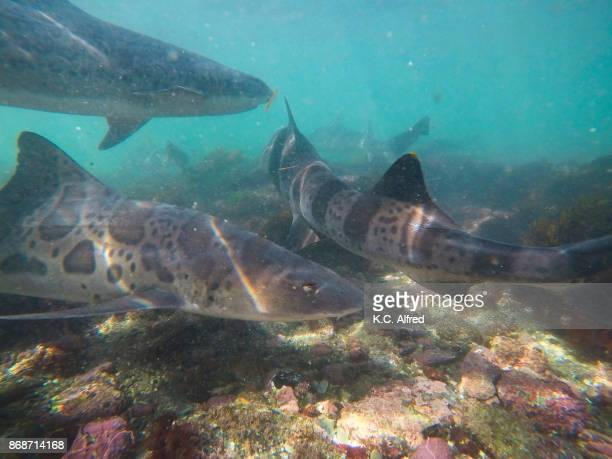 Leopard sharks swim in the warm, shallow water of the Pacific Ocean in La Jolla Cove.