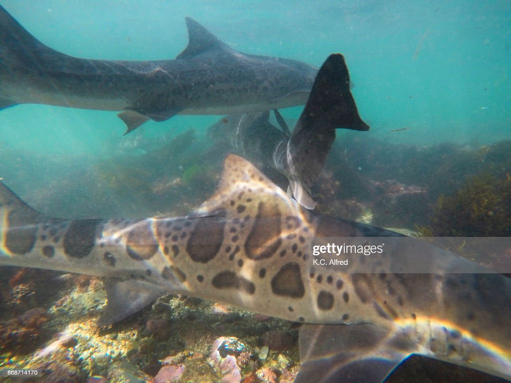 Leopard Sharks Swim In The Warm Shallow Water Of The Pacific