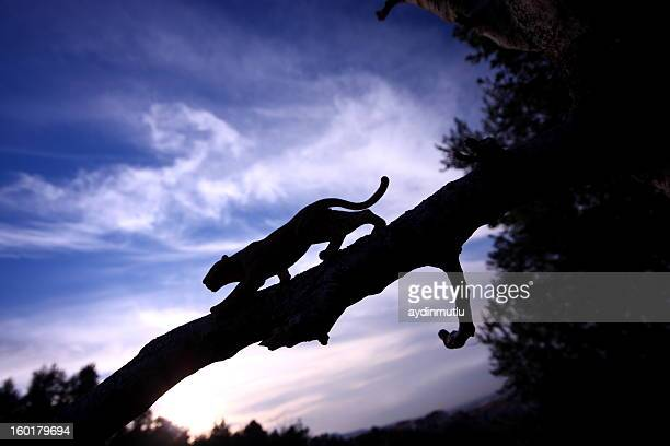 leopard silhouette - jaguar stock photos and pictures