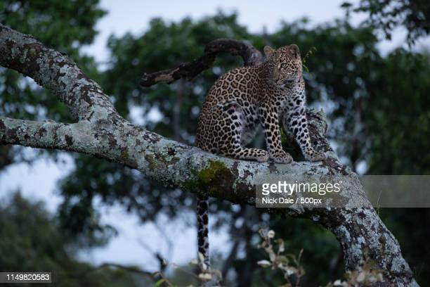 Leopard Sits On Branch Covered With Lichen