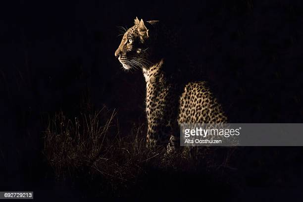 leopard sitting in darkness hunting nocturnal prey in a spotlight - sabie sands nature reserve south africa - 自然保護区 ストックフォトと画像