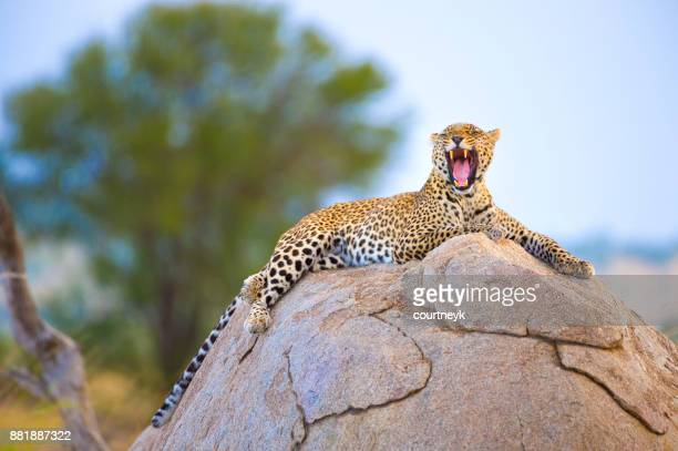 Leopard sitting on a rock.