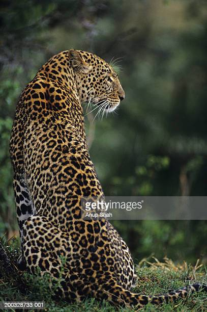 leopard (panthera pardus), sitting on grass, kenya - leopard photos et images de collection