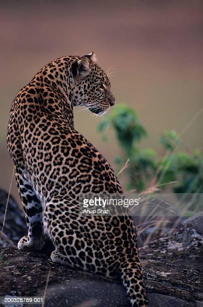 Leopard (Panthera pardus), sitting on rock, Kenya
