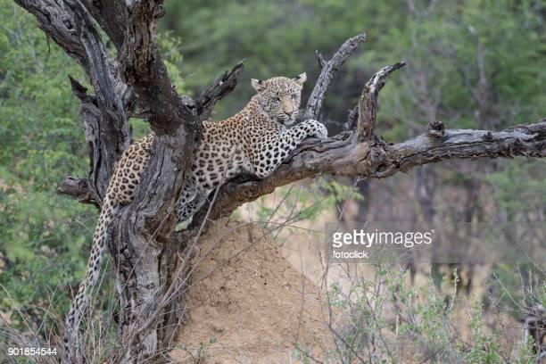 Leopard Sitz Auf Einem Baum
