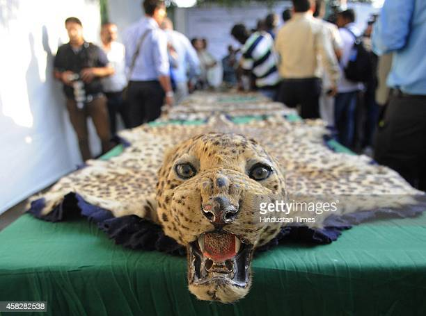 Leopard skin at Delhi Zoo to undertake the incineration of seized wildlife articles parts on November 2 2014 in New Delhi India Authorities set fire...
