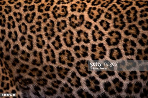 leopard skin - animal pattern stock pictures, royalty-free photos & images
