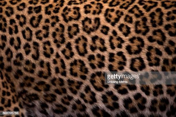 leopard skin - pele de leopardo - fotografias e filmes do acervo