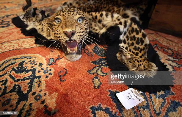 A Leopard Skin Rug With Mounted Head Available For Auction At The Gentleman S Library Is