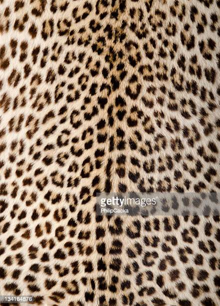 leopard skin/hide - leopard stock pictures, royalty-free photos & images