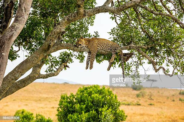 leopard sleeping full stomach with yellow balls - kenia fotografías e imágenes de stock