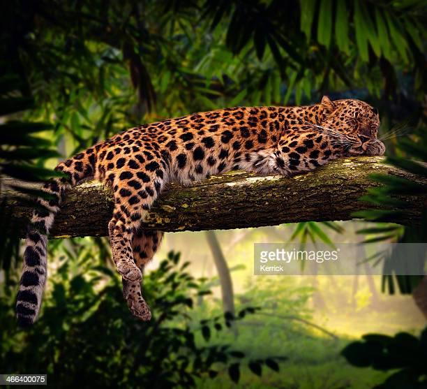 leopard sleeping in jungle - leopard stock pictures, royalty-free photos & images