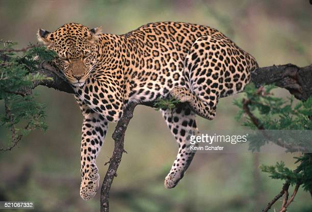 leopard sleeping in tree - dormir humour photos et images de collection