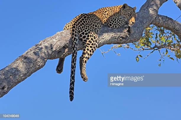 leopard sleeping on a branch - mpumalanga province stock pictures, royalty-free photos & images