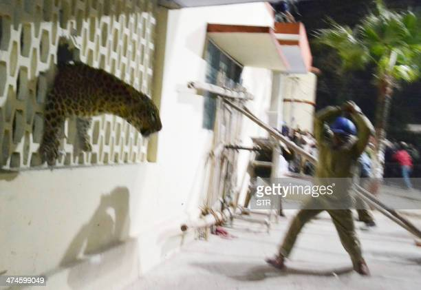 A leopard squeezes through a hole in the wall of the Meerut Cantonment Hospital as an official approaches in Meerut on February 23 2014 A leopard...