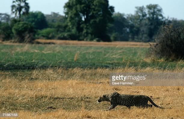 Leopard (Panthera pardus) Stalking Across the Bushveld Plain