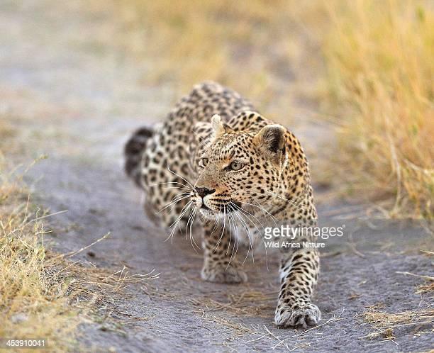 Leopard stalking