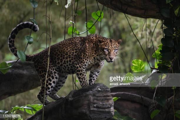 leopard standing in a tree, indonesia - leopardo foto e immagini stock