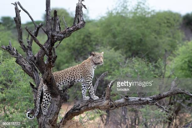 Leopard steht auf einem Baum