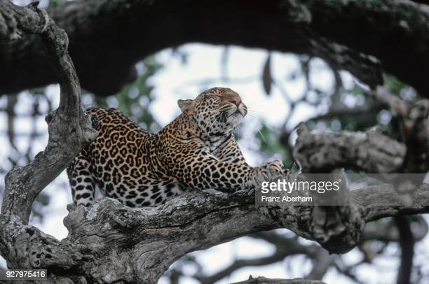 Leopard stretching, Serengeti, Tanzania