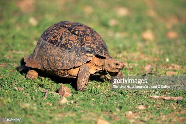 leopard tortoise, (testudo pardalis), adult searching for food, feeding, addo elephant nationalpark, eastern cape, south africa, africa - nationalpark stock pictures, royalty-free photos & images