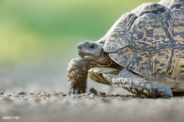 Leopard Tortoise, South Africa