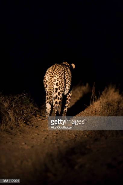 leopard walking in darkness hunting nocturnal prey in spotlight - sabie sands south africa - dark panthera stock pictures, royalty-free photos & images