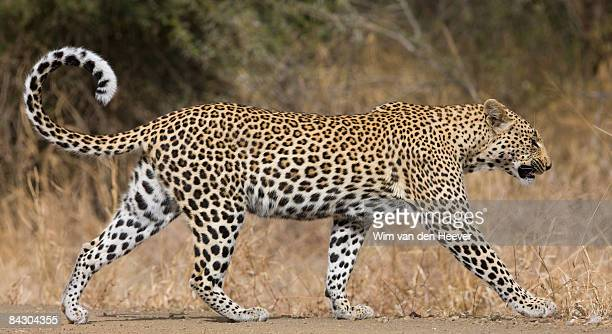 leopard walking - leopard stock pictures, royalty-free photos & images